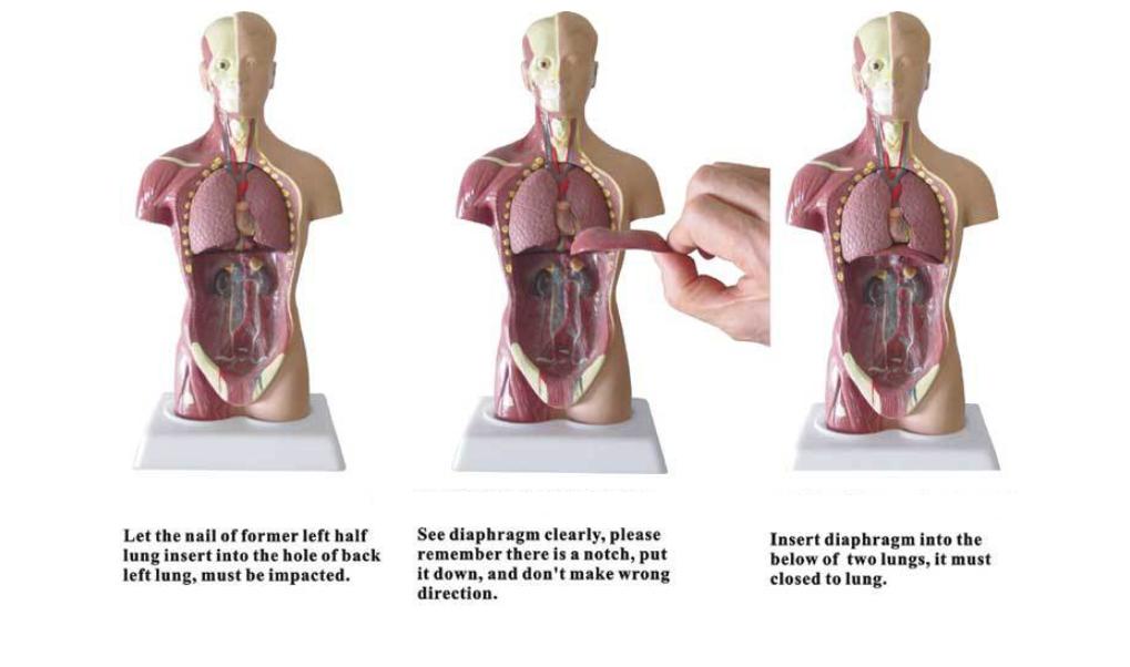 Human Body Model 28CM - Educational Toys ( 9 - 17 Years )